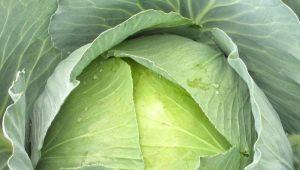Особенности капусты «Сахарная голова»