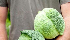 Савойская капуста: особенности и разновидности, посадка и уход, советы по хранению и применению