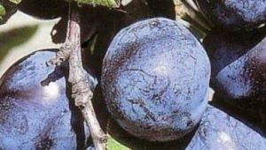 Слива «Чернослив»: описание сорта и особенности выращивания