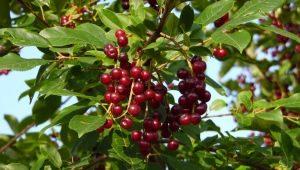 Сорта виргинской черемухи: описание и посадка