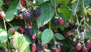 Знакомьтесь – ежемалина: выращивание чудо-ягоды у вас в саду