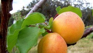 Абрикос «Царский»: описание сорта и советы по выращиванию