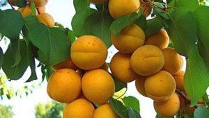 Абрикос «Погремок»: характеристика сорта и особенности выращивания