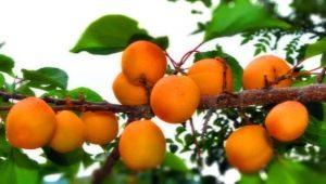 Абрикос в Сибири: как вырастить южный фрукт в суровых климатических условиях?