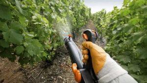 Чем и как подкормить виноград весной для получения хорошего урожая?