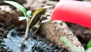 Чем можно подкормить рассаду помидоров?