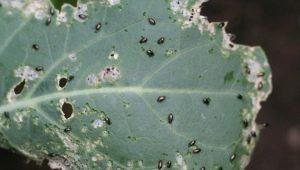 Чем обработать редис от крестоцветной блошки?