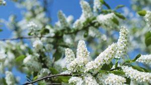 Черемуха: сроки цветения в разных регионах России
