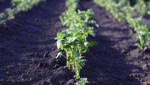 Через сколько дней после посадки всходит картофель и от чего это зависит?