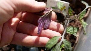 Фиолетовые листья у рассады помидоров: причины и методы борьбы
