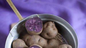 Фиолетовый картофель: описание и советы по приготовлению