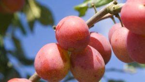 Гибриды сливы, абрикоса и персика: названия и описание новых фруктов