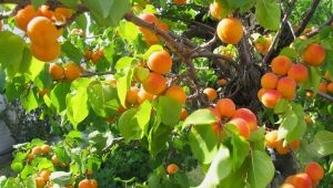 Характеристика канадского сорта абрикосов «Манитоба»