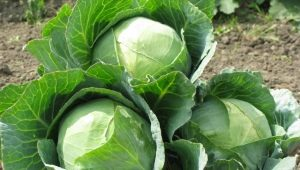 Характеристика сорта капусты «Амагер»