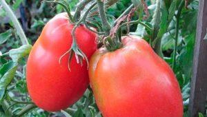 Характеристика сорта томатов «Боец»