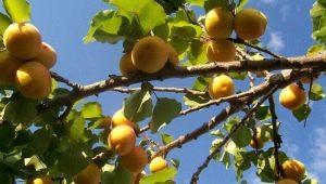 Как опыляются абрикосы?