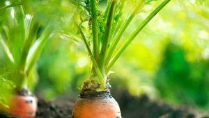 Как посадить морковь без дальнейшего прореживания?
