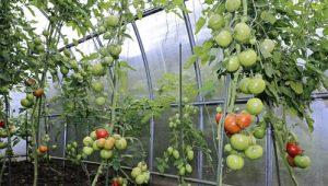 Как правильно поливать помидоры в теплице?