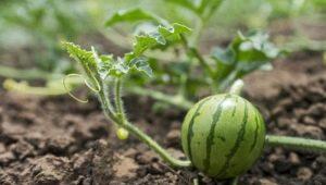 Как сажать арбузы семенами в открытый грунт?