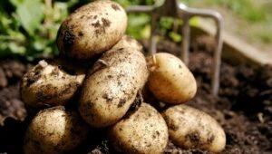 Как вырастить картофель «Венета»?