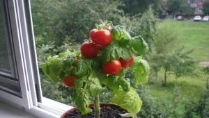 Как вырастить помидоры на подоконнике?