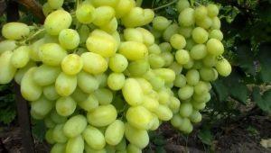 Как вырастить виноград сорта «Лора»?