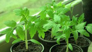 Как закалять рассаду томатов в домашних условиях?