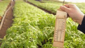Какая должна быть температура в теплице для помидоров?