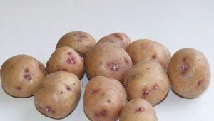 Картофель «Аврора»: описание сорта и выращивание