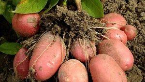 Картофель «Беллароза»: особенности и выращивание сорта