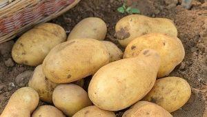 Картофель «Джелли»: описание сорта и выращивание