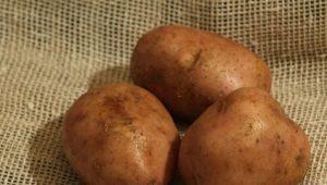 Картофель «Эльмундо»: описание сорта и выращивание