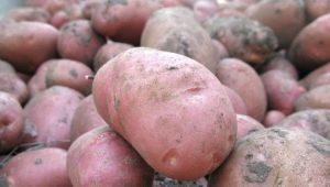 Картофель «Хозяюшка»: характеристика, посадка и уход