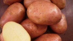 Картофель «Ильинский»: описание сорта и правила агротехники
