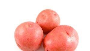 Картофель «Красавчик»: характеристика и выращивание