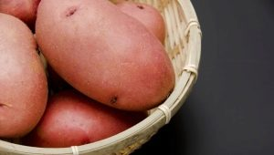 Картофель «Лаура»: описание сорта и выращивание