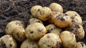 Картофель «Лидер»: особенности сорта и выращивание