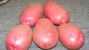 Картофель «Любава»: описание сорта и выращивание