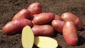 Картофель «Ред Фэнтези»: описание сорта, выращивание и уход