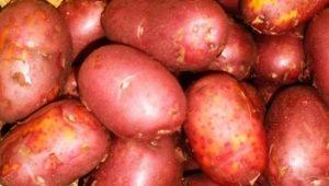 Картофель «Ред Соня»: описание и рекомендации по выращиванию