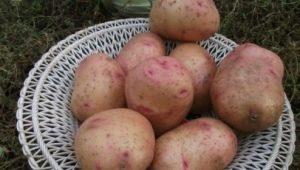 Картофель «Снегирь»: отличительные черты и выращивание