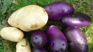 Картофель «Василек»: характеристика сорта и выращивание