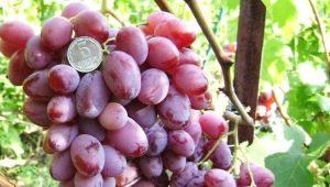 Лучшие сорта розового винограда
