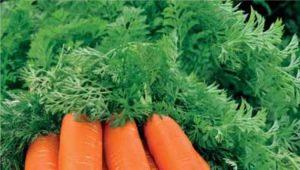 Морковь «Лосиноостровская 13»: описание сорта и тонкости выращивания