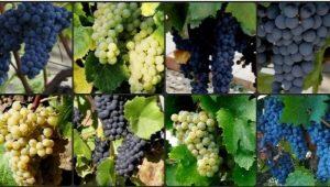 Мускатные сорта винограда: особенности, посадка и уход