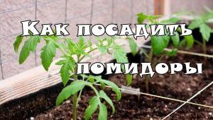 На каком расстоянии сажать помидоры в теплице?