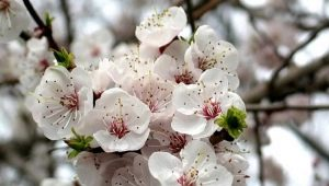 Не цветет абрикос: причины отсутствия завязей и способы обеспечить плодоношение