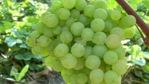 Неприхотливый виноград «Супага»: характеристика и процесс выращивания