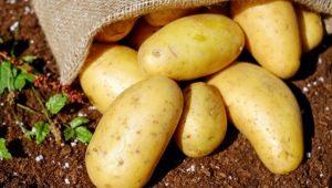Описание и процесс выращивания картофеля «Бриз»