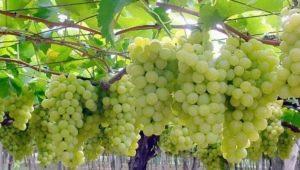 Описание и тонкости выращивания сорта винограда «Плевен»